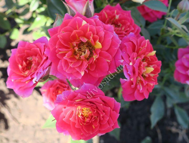 Роза  МИНИАТЮРНАЯ «ЧИЛИ КЛИМЕНТИНА»