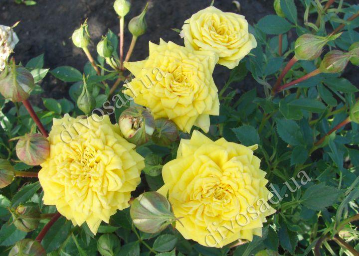 Роза  МИНИАТЮРНАЯ «ЕЛЛОУ ДОЛЛ»