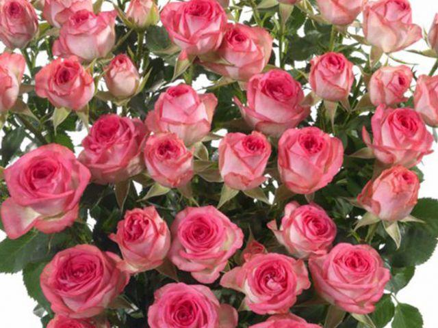 Роза  МИНИАТЮРНАЯ «ФАБИОЛА»