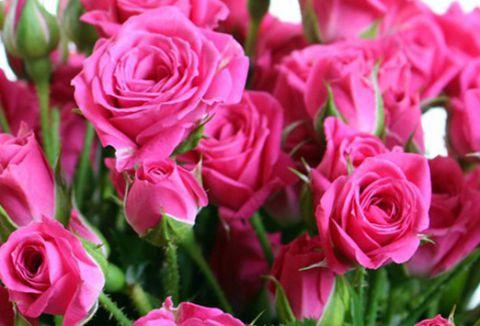 Роза  МИНИАТЮРНАЯ «ЛАВЛИ ЛИДИЯ»