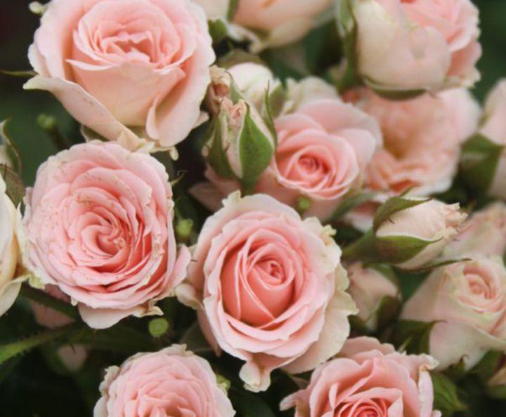 Роза  МИНИАТЮРНАЯ «ЛИДИЯ»