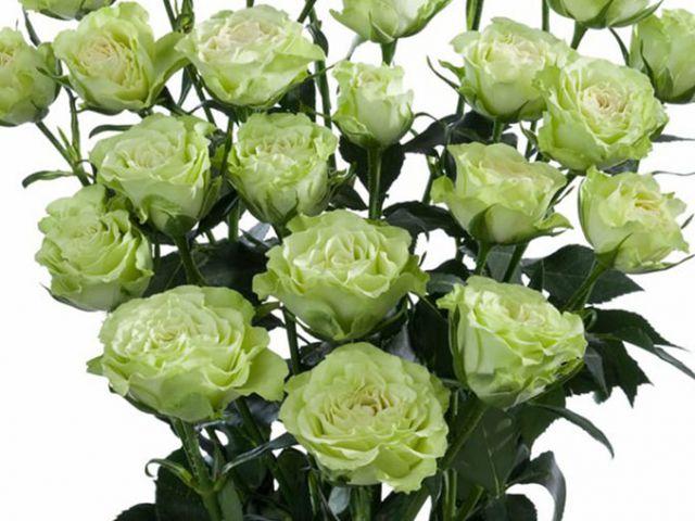 Роза  МИНИАТЮРНАЯ «ЛУВИАНА»