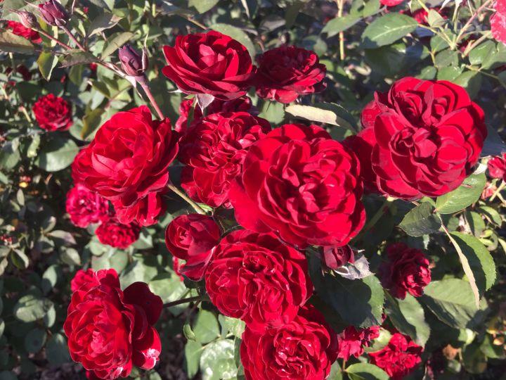 Роза  МИНИАТЮРНАЯ «КАРДУЛА (Kordes)»