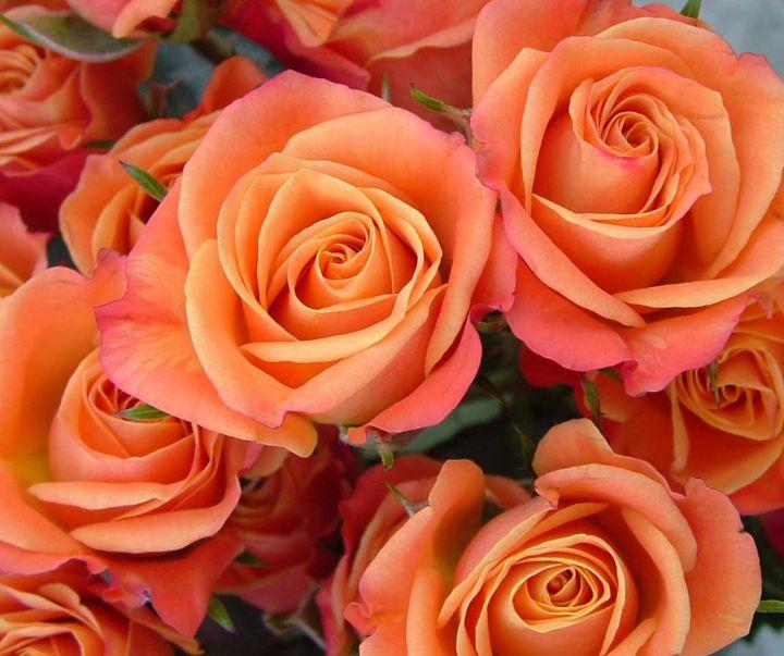 Роза  МИНИАТЮРНАЯ «ОРАНЖ СПРЕЙ»