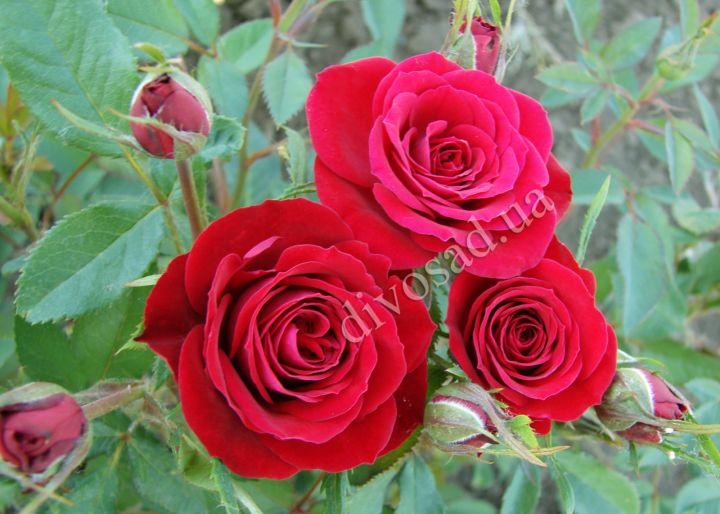 Роза  МИНИАТЮРНАЯ «РЕД МАКАРЕНО»