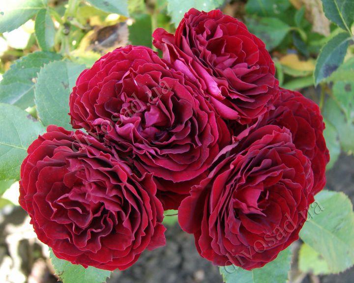 Роза  МИНИАТЮРНАЯ «РЕД СЕНСЕЙШН»