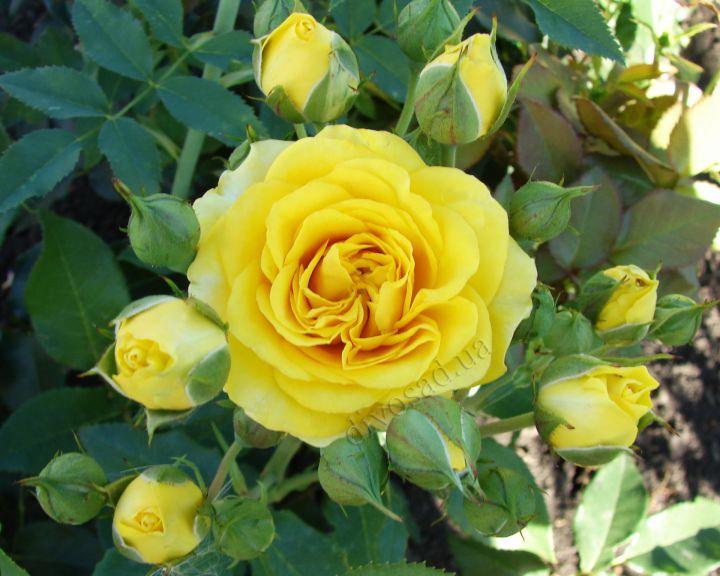 Роза  МИНИАТЮРНАЯ «САНСЕТ»