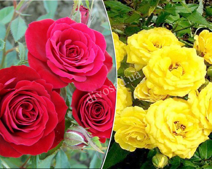 Роза  МИНИАТЮРНАЯ «САНСЕТ+РЕД МАКАРЕНО»