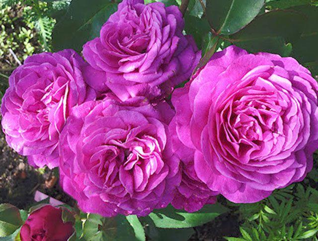 Роза  МИНИАТЮРНАЯ «ХАЙДИ КЛУМ»