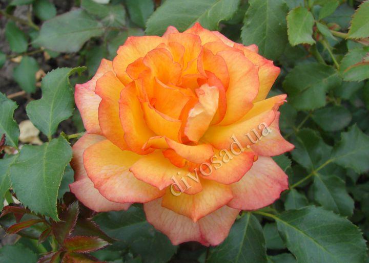 Роза ПАРКОВАЯ «САХАРА (Tantau)»
