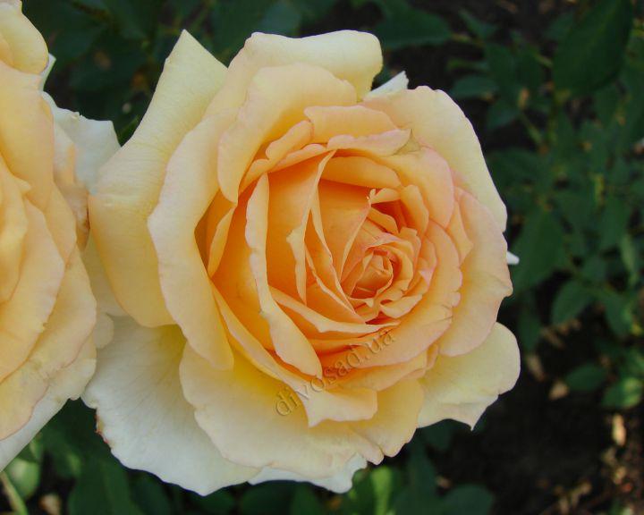 Роза ПАРКОВАЯ «СОФИ РЕНЕССАНС»