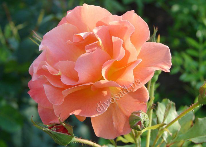 Роза ПАРКОВАЯ «ВЕСТЕРЛЕНД (Kordes)»