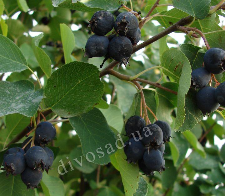 КРУПНОМЕРЫ. Плодовые деревья «ИРГА на штамбе, 4 года»