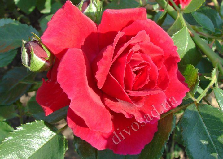 Роза ПЛЕТИСТАЯ «АМАДЕУС (Kordes)»