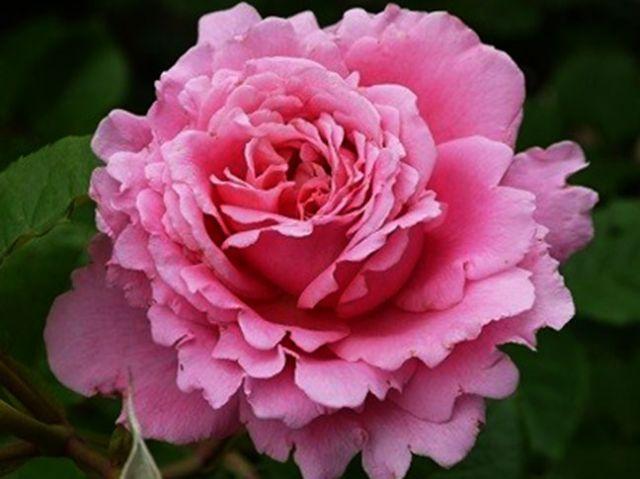 Роза ПЛЕТИСТАЯ «БЬЕНВЕНЮ (Delbard)»