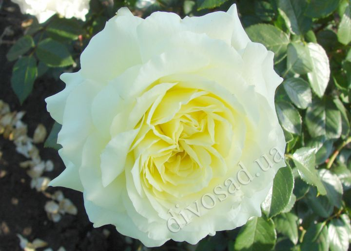 Роза ПЛЕТИСТАЯ «ЭЛЬФ (Tantau)»