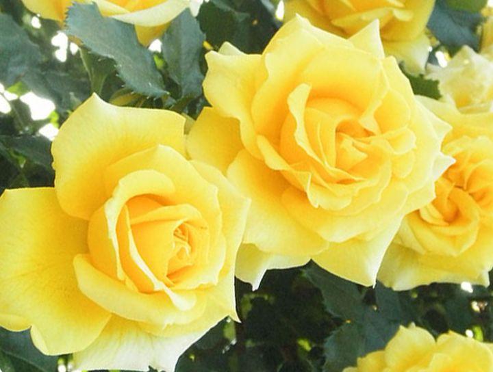 Роза ПЛЕТИСТАЯ «РИМОЗА»