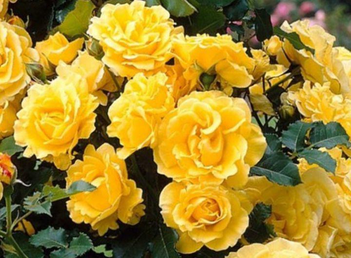 Роза ПЛЕТИСТАЯ «ГОЛДЕН ШАУЭРС»
