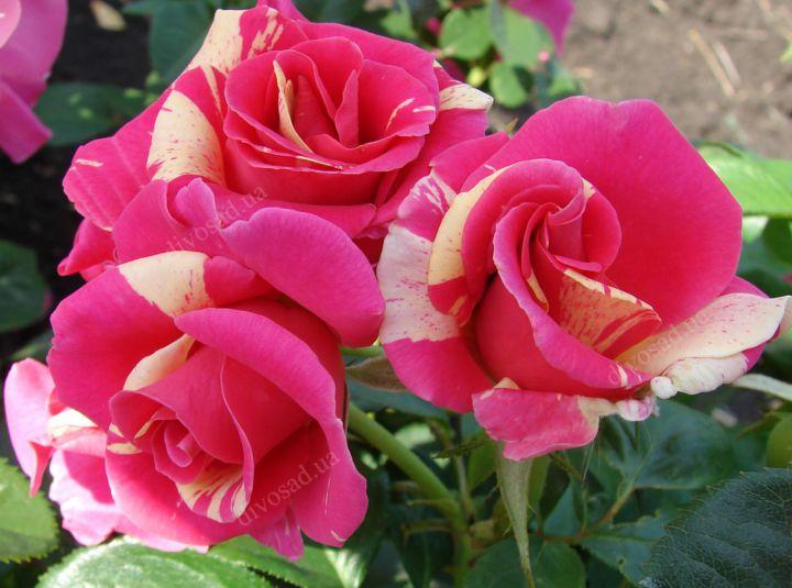 Роза ПЛЕТИСТАЯ «КЕНДИЛЕНД»