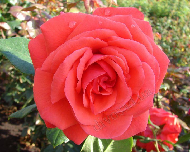Роза  ШТАМБОВАЯ «МАЙНТАУЭР, 3 года, в контейнере 7,5 л»