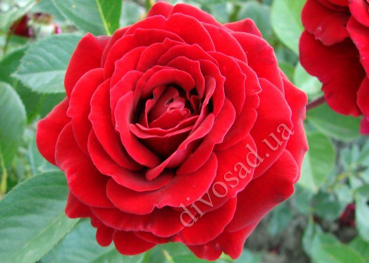 Роза ПЛЕТИСТАЯ «НАЙХЕЛГЛУТ (Olesen)»