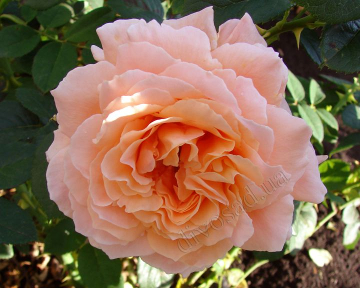 Роза ПЛЕТИСТАЯ «ПОЛЬКА-91 (Meilland)»