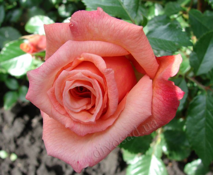 Роза ПЛЕТИСТАЯ «АЛОХА»
