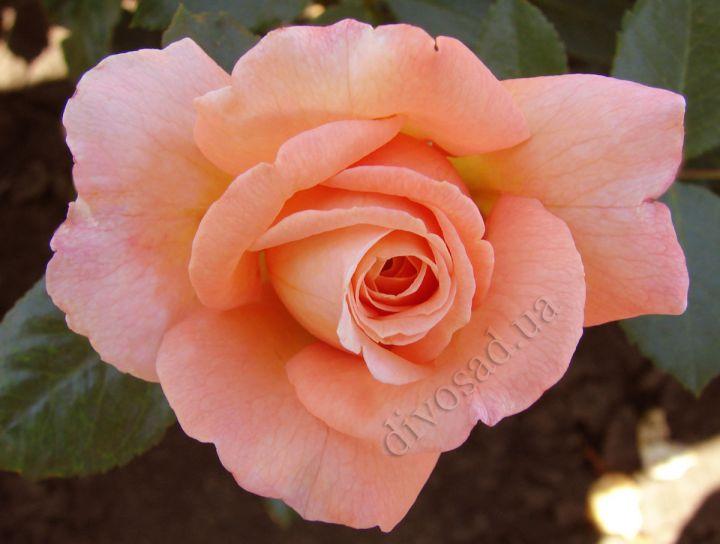 Роза ПЛЕТИСТАЯ «БАРОК»