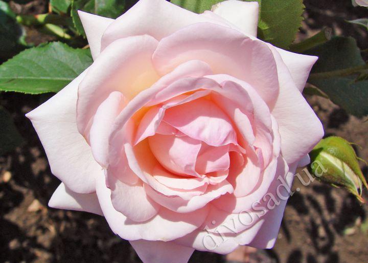 Роза ПЛЕТИСТАЯ «НЬЮ ДОУН»