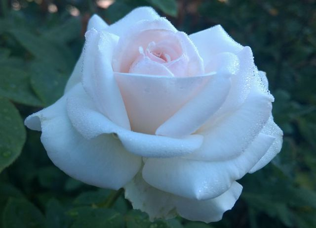 Роза ПЛЕТИСТАЯ «ШВАНЕНЗЕЕ / Свайн Лейк»