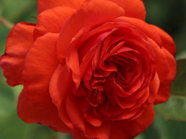 Роза ПЛЕТИСТАЯ «САЛИТА»
