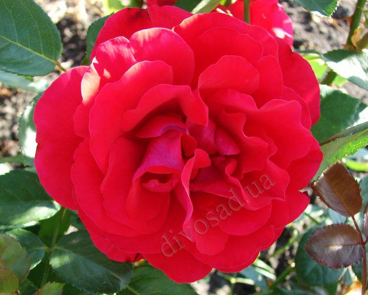 Роза ПЛЕТИСТАЯ «САНТАНА»