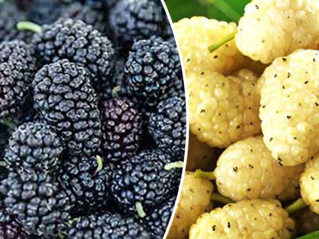 ШЕЛКОВИЦА привитая «НАДЕЖДА+БЕЛАЯ крупно-плодная, на штамб, 2  года»