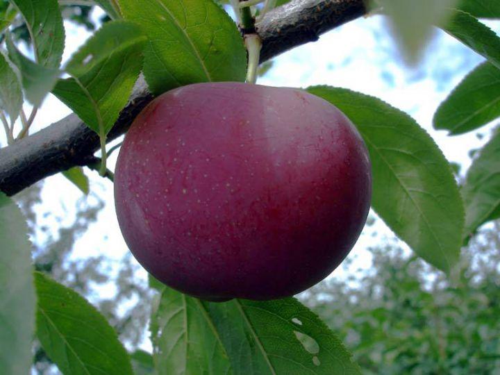 КРУПНОМЕРЫ. Плодовые деревья «Слива АЛЁНУШКА, 3 года»
