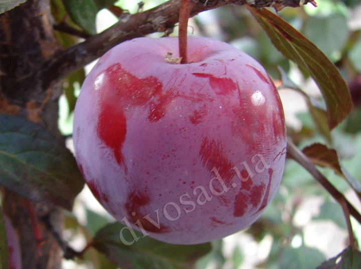 КРУПНОМЕРЫ. Плодовые деревья «Слива ГОЛЛИВУД  краснолистная, 3 года»
