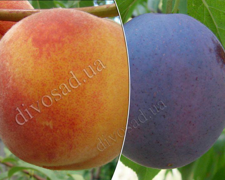 КРУПНОМЕРЫ. Плодовые деревья «Слива РЕНКЛОД КАРБЫШЕВА+персик САНРАЙЗ, 3 года»