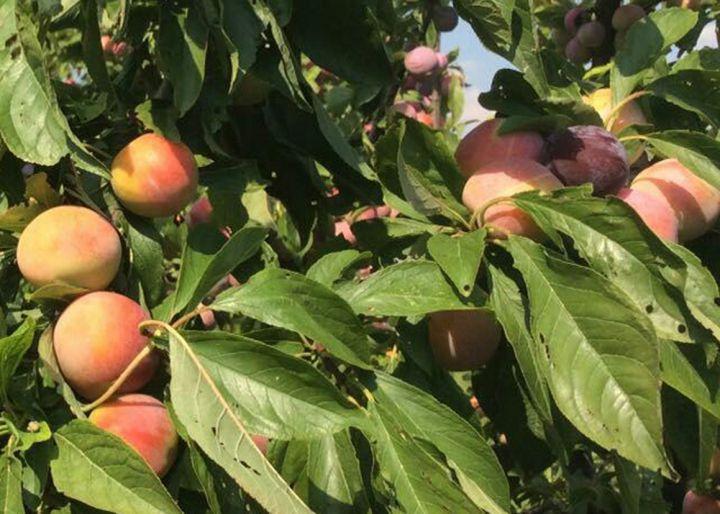 КРУПНОМЕРЫ. Плодовые деревья «Слива СУПЕРИОР, 4 года»