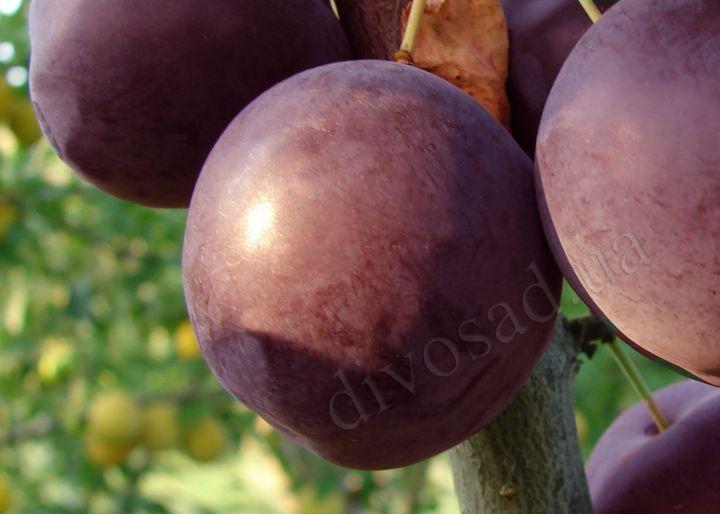 КРУПНОМЕРЫ. Плодовые деревья «Алыча ВИЛОРА, 4 года»