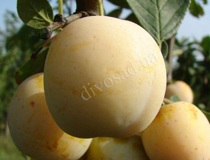*КРУПНОМЕРЫ. Плодовые деревья «Слива ЖЁЛТАЯ АФАСКА, 6 лет»