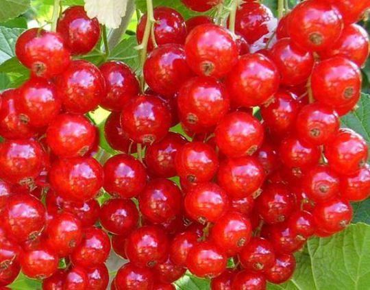 КРУПНОМЕРЫ. Плодовые деревья «Красная смородина РОВАДА, 4 года»