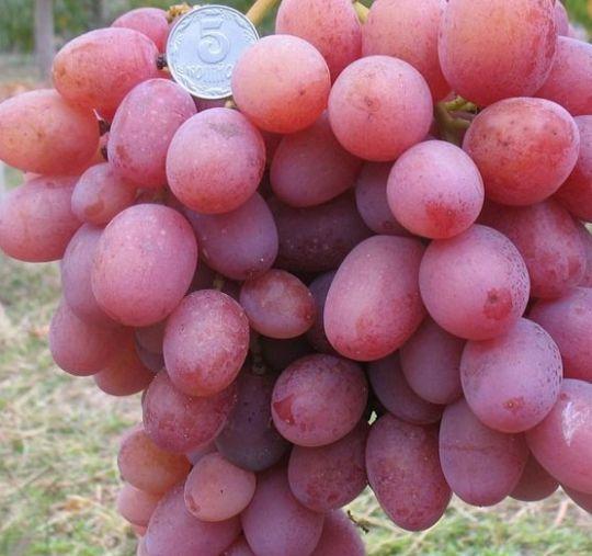 фото виноград ливия