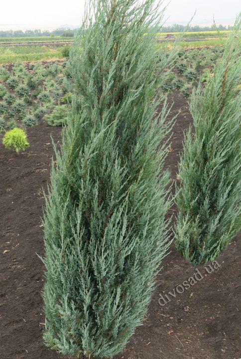 *КРУПНОМЕРЫ. ХВОЙНЫЕ  растения «МОЖЖЕВЕЛЬНИК BLUE ARROW, h=1.6-1.8 м»