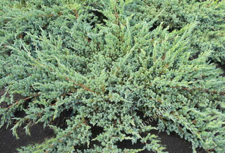 КРУПНОМЕРЫ. ХВОЙНЫЕ  растения «МОЖЖЕВЕЛЬНИК  BLUE CARPET, d=80-100 см»