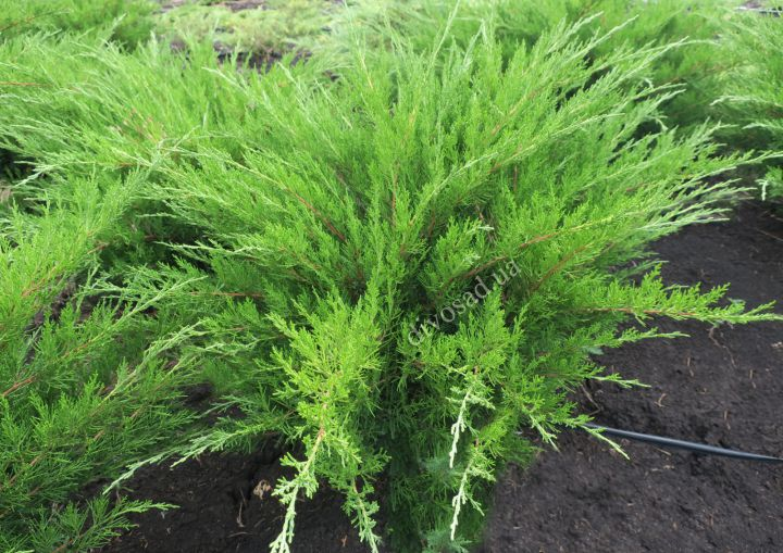 *КРУПНОМЕРЫ. ХВОЙНЫЕ  растения «МОЖЖЕВЕЛЬНИК MINT JULEP, d=80-100 см»