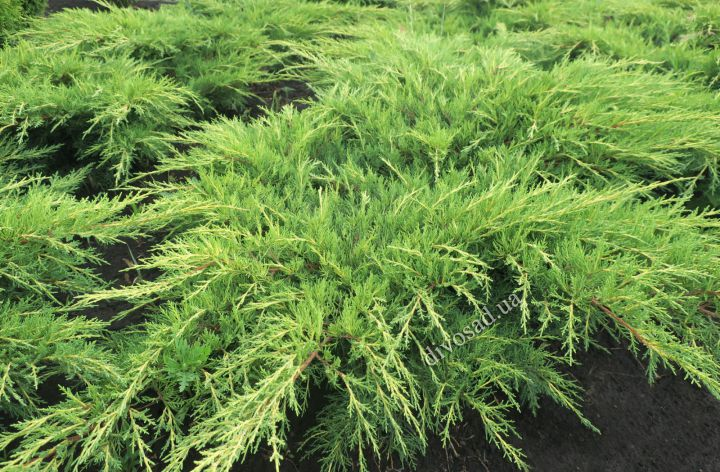 *КРУПНОМЕРЫ. ХВОЙНЫЕ  растения «МОЖЖЕВЕЛЬНИК OLD GOLD, d=80-100 см»