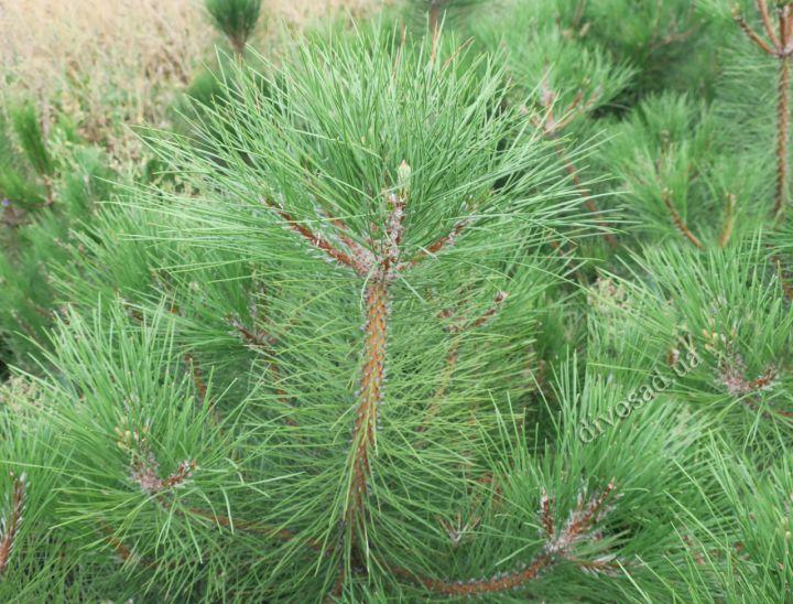 *КРУПНОМЕРЫ. ХВОЙНЫЕ  растения «СОСНА крымская, h=1.8-2.0 м»