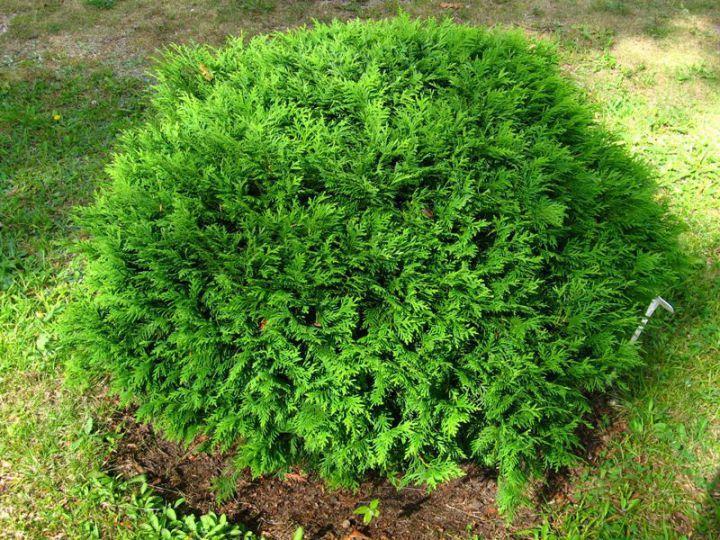КРУПНОМЕРЫ. Декоративные растения «ТУЯ западная  GLOBOSA, h=0.7-0,8 м»