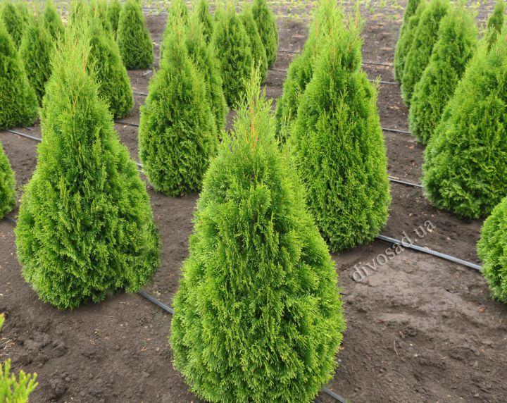 КРУПНОМЕРЫ. Декоративные растения «Туя западная SMARAGD  EXTRA, 100 см»