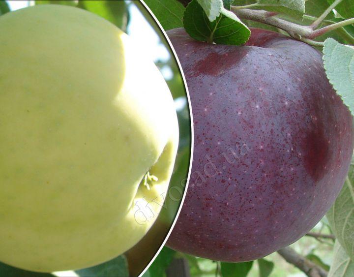 КРУПНОМЕРЫ. Плодовые деревья «Яблоня Белый  налив+Вильямс Прайд, Дерево- Сад, 3 года»