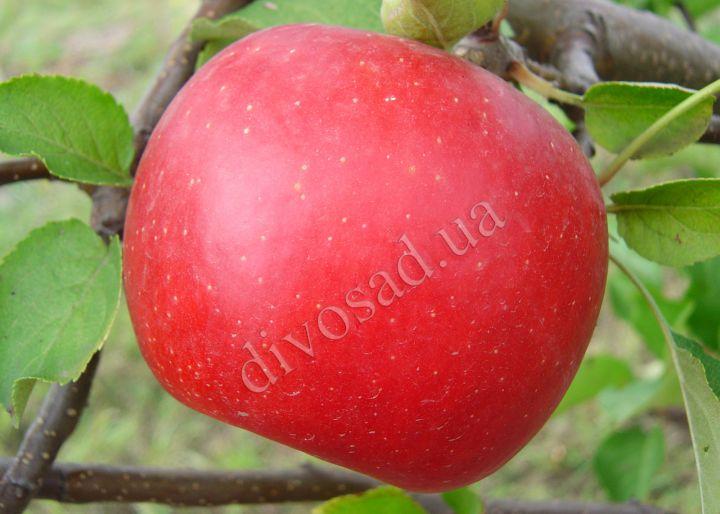 КРУПНОМЕРЫ плодовые «Яблоня БОГЕМИЯ, 6 лет»